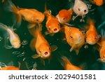 colorful japanese koi carp...   Shutterstock . vector #2029401581