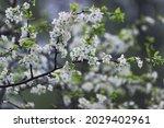 blooming cherry branch. white...   Shutterstock . vector #2029402961
