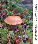 Small photo of northern mushroom in the leaves of the crowberry