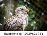 Portrait Of Beautiful Eagle...