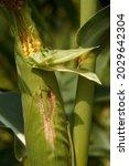 Fresh corn growing in the field ...