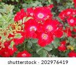 wild rose flower aka rosa... | Shutterstock . vector #202976419