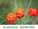 Bright Marigolds In The Garden