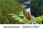 Small photo of Scenic view of the Barron Canyon Trail in Algonquin Provincial Park, Ontario, Canada July 2021. Close-up of a sumac tree growing on the edge of a cliff overlooking the Barron River