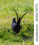 A Dark Melanistic Form Of The...