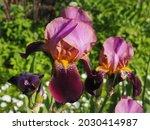 Iris Germanica Or Bearded Iris  ...