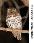 Small photo of African barred owlet (Glaucidium capense) perched on a branch, South Africa