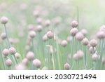 schnitt onion blooms in the...   Shutterstock . vector #2030721494