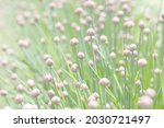 schnitt onion blooms in the...   Shutterstock . vector #2030721497