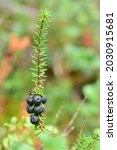 Small photo of Black crowberry or blackberry ( Empetrum nigrum ) with purplish-black fruits growing in the forest. Flowering ornamental plant in the heather family Ericaceae. Side view. Macro.