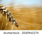 A Ripe Ear Of Wheat  Bright...