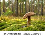 King Pine Bolete In Moss At...