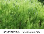 Thicket Of Equisetum  Also...