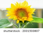 Yellow Sunflower In The Garden...