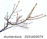 Frosted Branches Of A Tree ...
