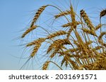 A Bunch Of Wheat Ears On The...