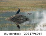 Indian Cormorant Or Great...