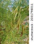 Monarch Milkweed Seedpods...