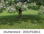 Flowering Chinaberry Tree...