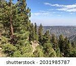 Ponderosa Pine Trees Along The...