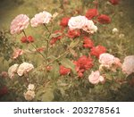 Wild Rose Bush Vintage Photos...