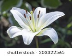 White Lily Flowers In A Garden...