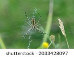 Ventral Side Of A Wasp Spider ...