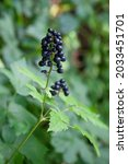 Small photo of Baneberry or herb Christopher, Actaea spicata, former herb against pestilence, ripe berries in summer.