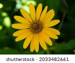 Yellow Flower Of Leopard's Bane ...
