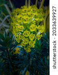 Small photo of A CYPRESS SPURGE IN FULL BLOOM WITH A LIGHT YELLOW TINT AND BLURRY BACKGROUND