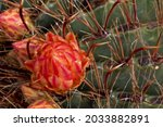 Small photo of Closeup of Fishhook Barret Cactus with red yellow flower fruit and red curved thorns in Arizona after summer monsoon rain