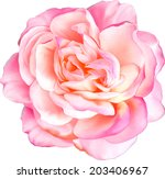 Pink Rose Flower Isolated On...