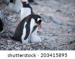gentoo penguin feeding the baby ... | Shutterstock . vector #203415895