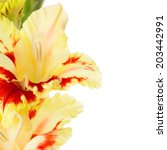 Beautiful fresh red annd yellow gladiolus isolated \ close up \ square - stock photo