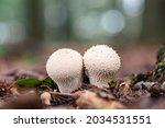 Common Puffball  Warted...