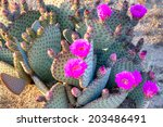 Blooming Prickly Pear Cactus In ...