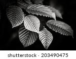 Black And White Beech Branch