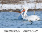 dalmatian pelican in winter ... | Shutterstock . vector #203497369