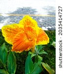 Anna Or Canna Lily Is The Only...