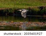 Great Blue Heron Flying Low...