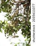 Mango Mistletoes  Dendrophthoe...