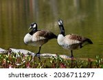 Two Canada Geese Standing On A...