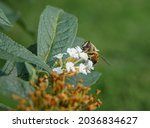 A Drone Hover Fly  Eristalis...