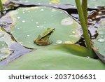 Common Green Frog  Hylarana...
