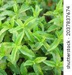 Lush Mint Plant In Fresh Mint...