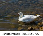 Ross's Goose Just Got Into The...