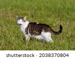 Tomcat On A Meadow With With A...