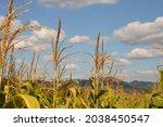 Top Of Corn Flower  Beautiful...