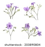 ruellia tuberosa flower | Shutterstock . vector #203890804