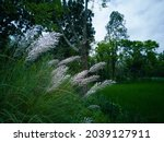 Many White Catkin Flowers And...